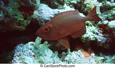Bigeye perch in the coral reef. Red SEa Egypt