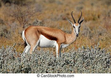 Springbok in natural habitat - A springbok antelope...
