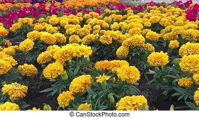 yellow the flowers chrysanthemum nature background - yellow...