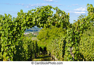 A photo of a vineyard with green leaves and a blurred...