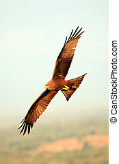 Yellow Billed Kite - Uganda, Africa - Yellow Billed Kite at...