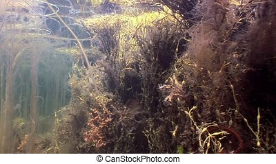 Seaweeds sunlight underwater seabed of White Sea Russia....