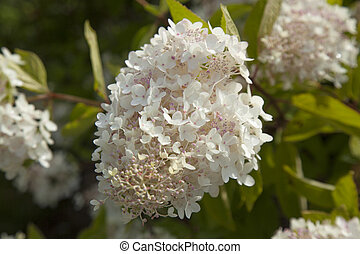 white and pink Hydrangea paniculata natural floral...