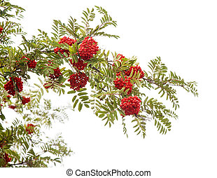 mountain ash branch isolated on white background