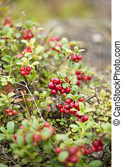 foraging background with edible berries, Finland, summer