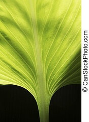 Northern christmas lily leaf - Macrophotography of beautiful...
