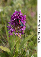 Wild orchid, growing in Northumberland UK - Large wild...