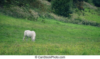 White Horse Grazing In Meadow - White horse grazes in sunny...