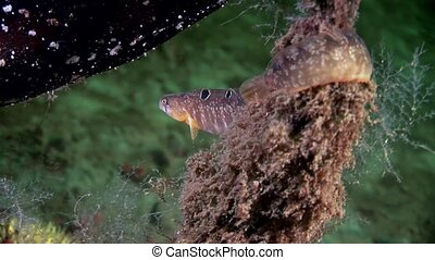 Eel pout mutton fish perciform on seabed underwater in ocean...