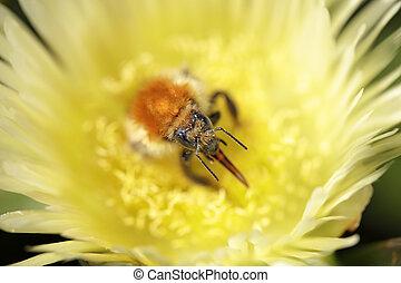 Bumblebee sucking pollen from a yellow flower. Shallow DOF.