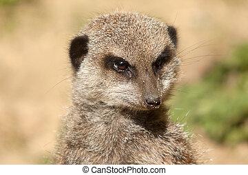meerkat portrait 8237