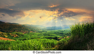 sugarcane field landscape in sunset