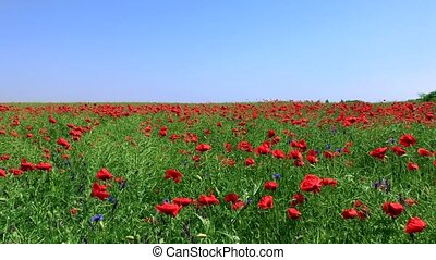 field with flowering red poppies and green stems against a...