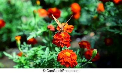 butterfly collects nectar on a flowering marigold on a...
