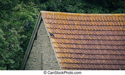 Birds Nesting In Old Farm Building - Crows nesting in old...