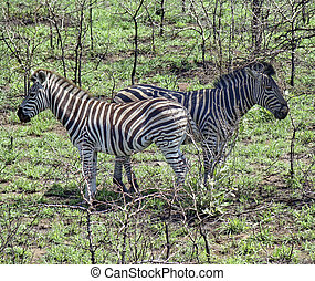 Two zebra looking in the opposite direction - Two zebra side...