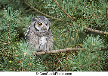 White faced stops owl - An alert looking white faced scops...