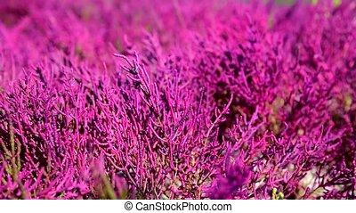 Salicornia europaea plant grows on heavily saline soils on...
