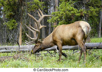 Bull Elk Grazing - Bull Elk eating grass close to where I...