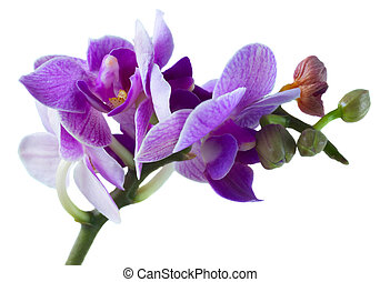 Two violet orchids - Mauve and blue fresh orchids close up...