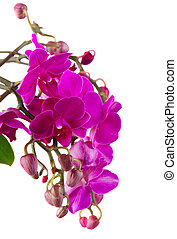 Bunch of violet orchids - Branch of fresh purple orchid...