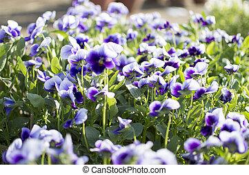 plantas, flores, violeta