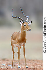 African Impala, animal in the nature habitat, National Park...
