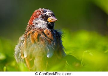 shaggy bird - windswept shaggy male sparrow bird sitting on...