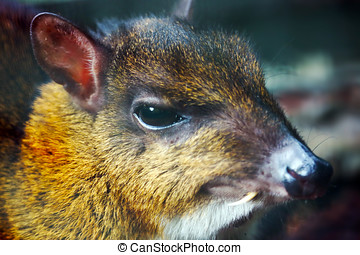 lesser mouse-deer - head of a lesser mouse-deer with a long...