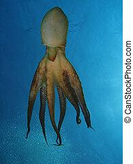 Tentacles - Octopus using jet propulsion. Shot captured in...