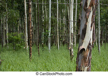 Eucalyptus Forest - Eucalyptus plantation Conversion of...