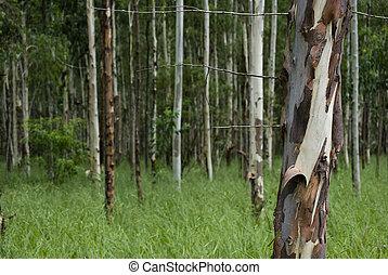 eucalipto, bosque
