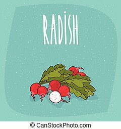Isolated ripe root vegetables radish whole and cut
