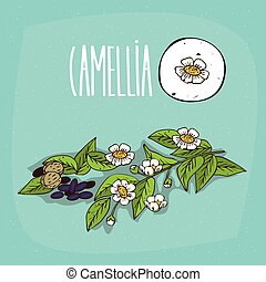 Set of isolated plant Camellia flowers herb with leaves,...