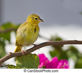 Yellow canary perched on tree branch, Shanzu beach Kenya