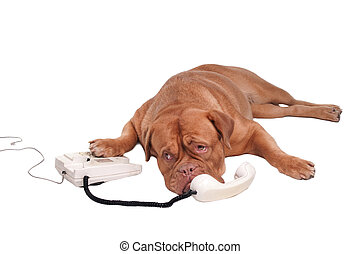 Dog on the phone - Dogue de Bordeaux chatting on the phone