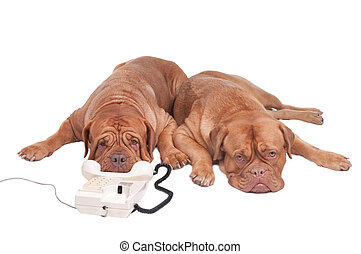 Dogs on the phone - Two dogs are waiting for a call on the...