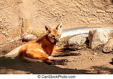 Maned wolf Chrysocyon brachyurus can be found in the...