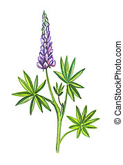 Lupins or lupines - Illustration of watercolor.