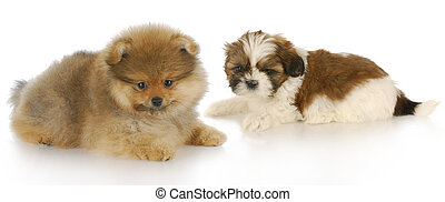 two puppies - pomeranian puppy and shih tzu puppy laying...