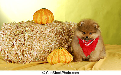 pomeranian puppy - cute pomeranian puppy wearing sitting in...