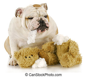 bad dog - english bulldog ripping apart stuffed animal with...