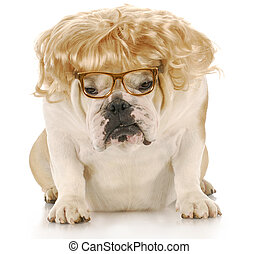 miserable dog - english bulldog wearing blond wig and...