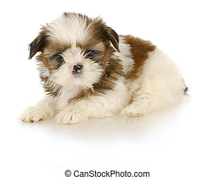 cute puppy - adorable shih tzu puppy laying down on white...