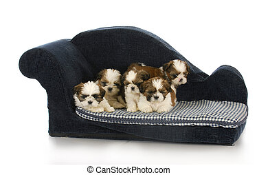 litter of puppies - litter of shih tzu puppies laying on...