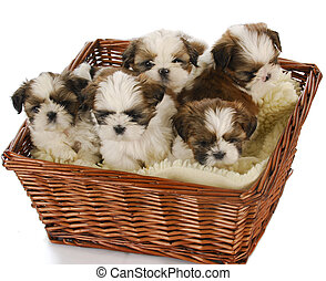 litter of puppies - five shih tzu puppies in a basket on...