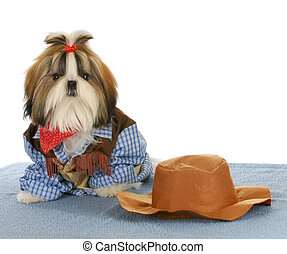 western puppy - cute shih tzu dressed up like a cowboy on...