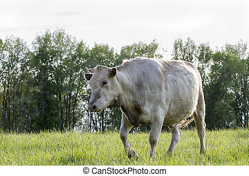 cow in the fields - Cow grazing on grass before it's...