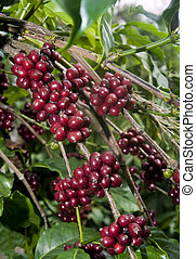 Raw Coffee Beans cherry - Raw coffee beans, fresh unplucked...