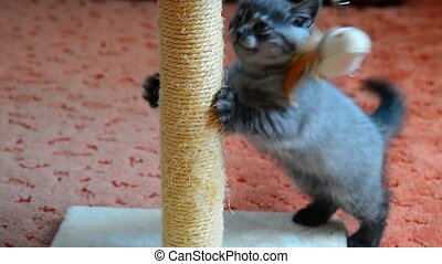 gray kitten playing with scratching post and toys. 2 months...